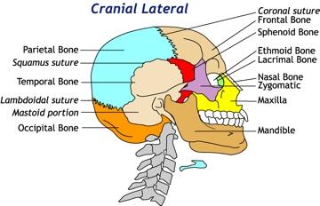 Diagram of Cranial Kinesiology